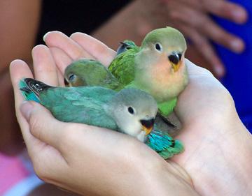 مميز//×||| تعلــــمت مـــن العصـــافير |||× 5-21-06 birds 3-lovebirds.JPG